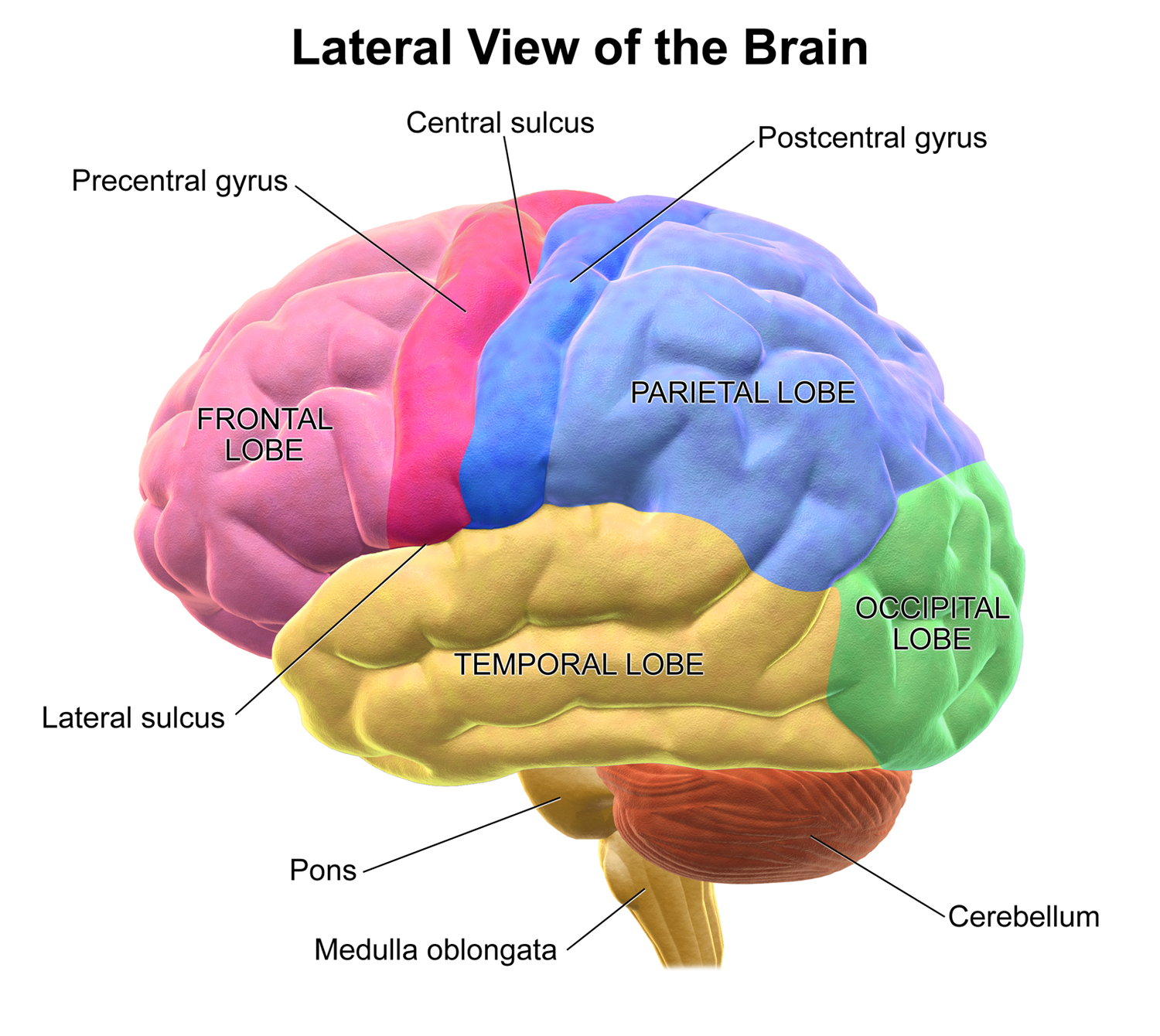 Where Is The Occipital Lobe In Relation To The Frontal Lobe Of The